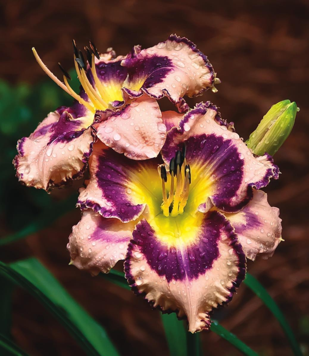 New Rainbow Rhythm Daylilies: Stunning for the ages