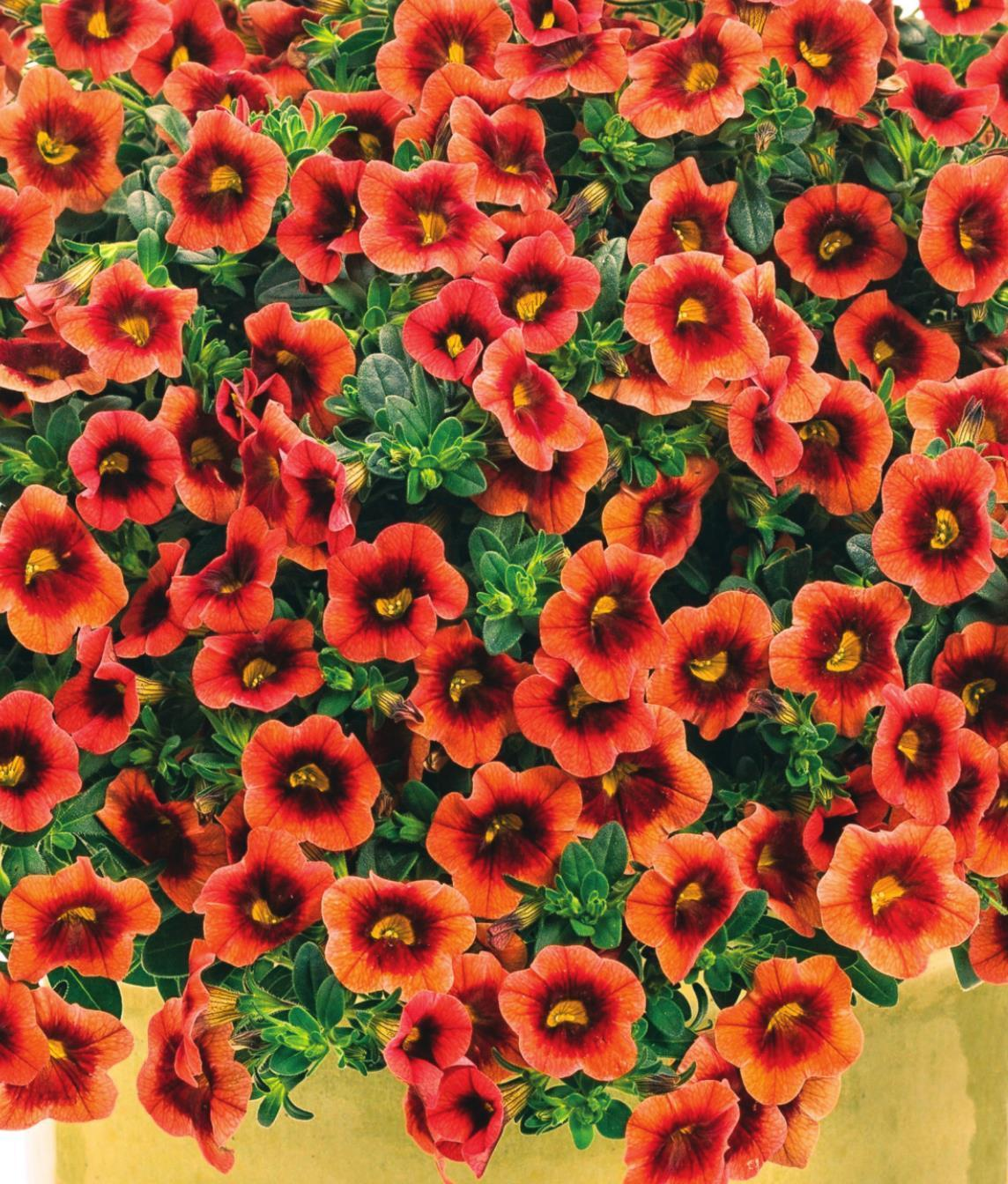 Superbells Coral Sun offers the garden flaming color