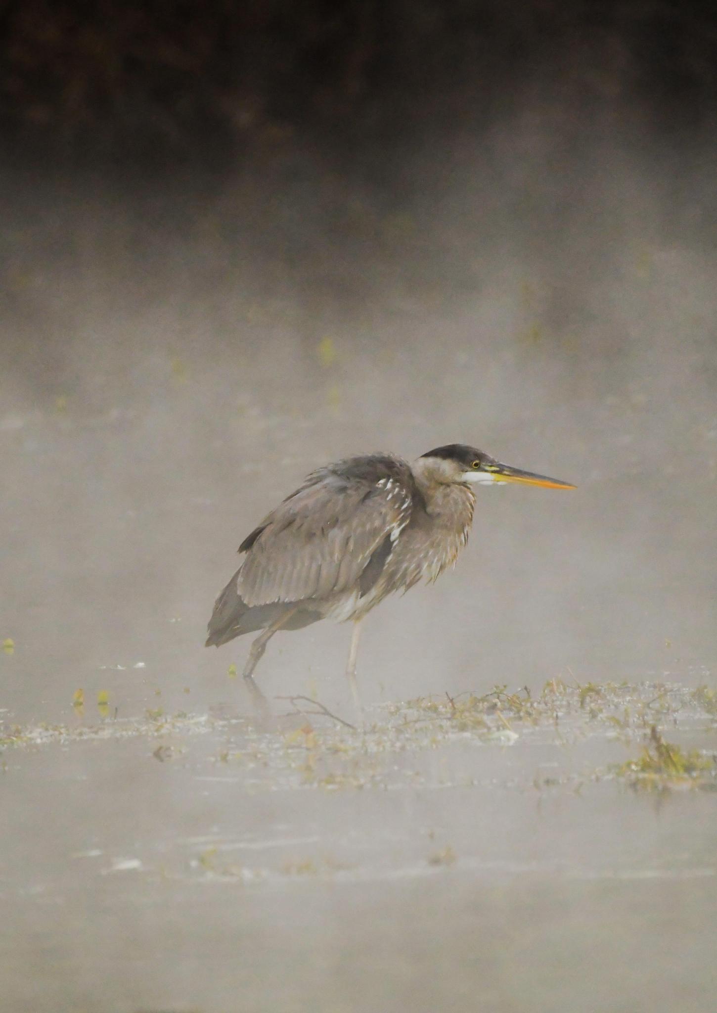 Great Blue Heron, San Marcos River
