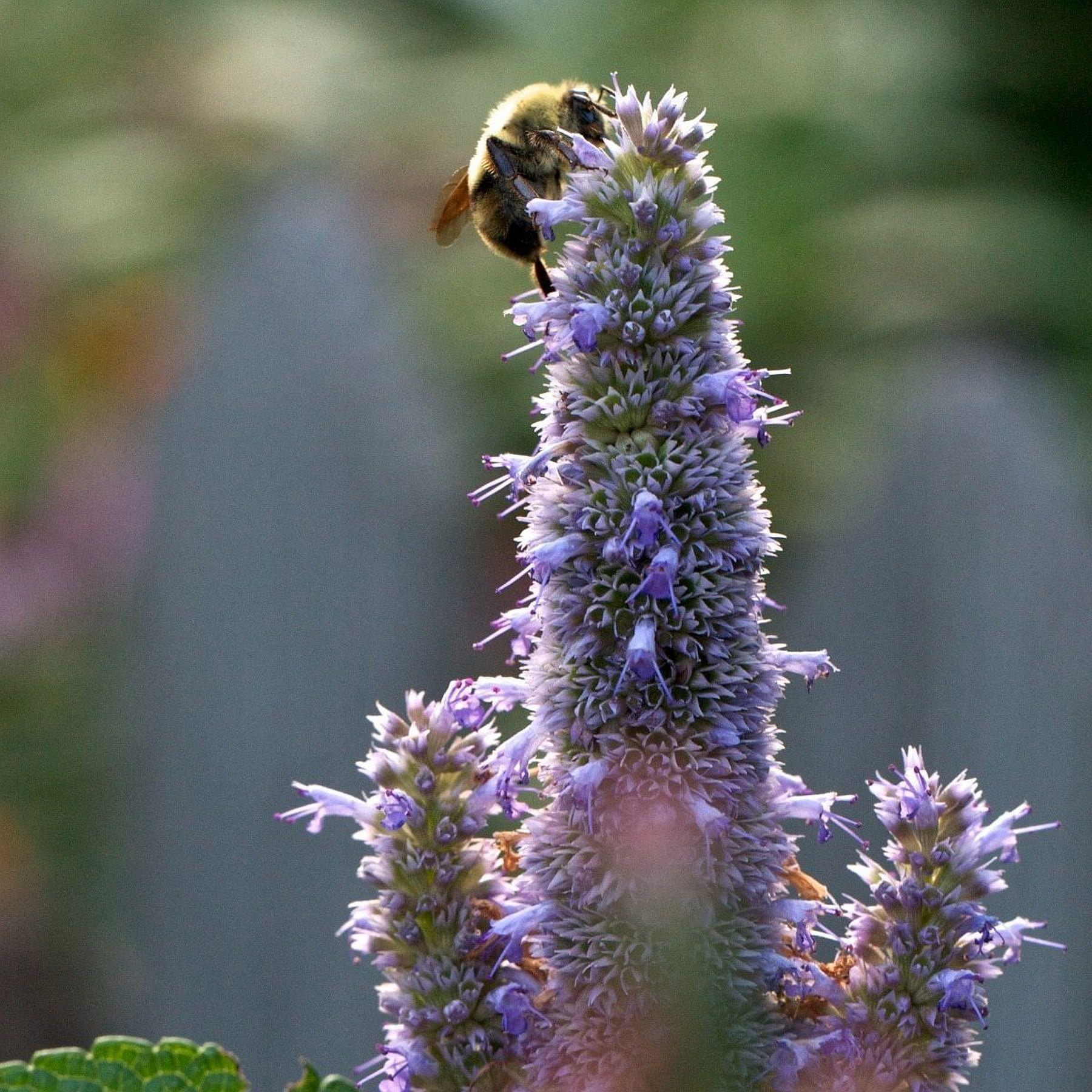 An Unbiased View of How To Successfully Grow Hyssop: A Field Guide To Planting ...