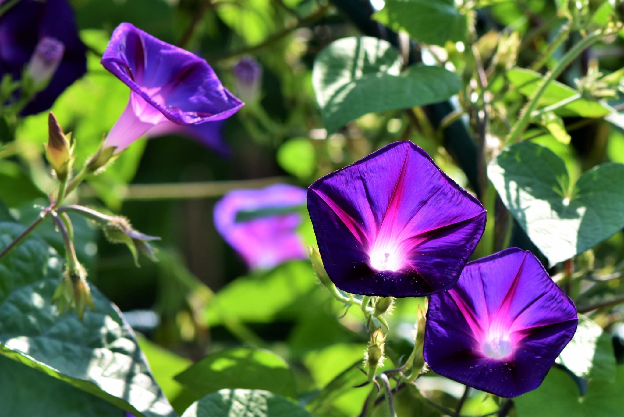 Morning glories have a hardy vine and are indigenous to South America. They have worked their way northward and today are either cultivated or grow wild ...