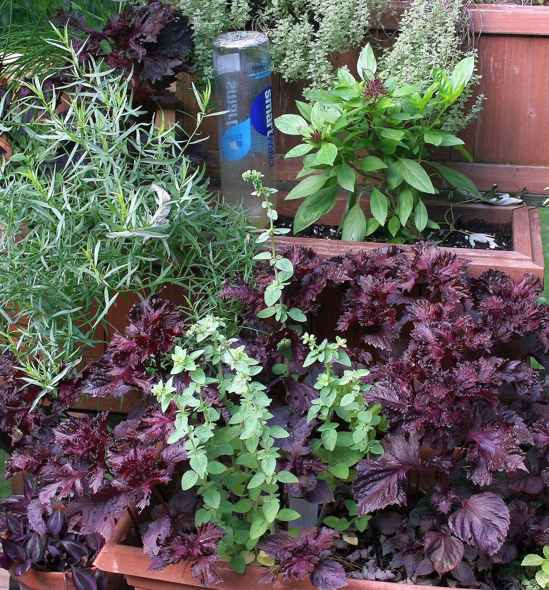 Growth in gardening: Herbs for allergy relief | San Marcos