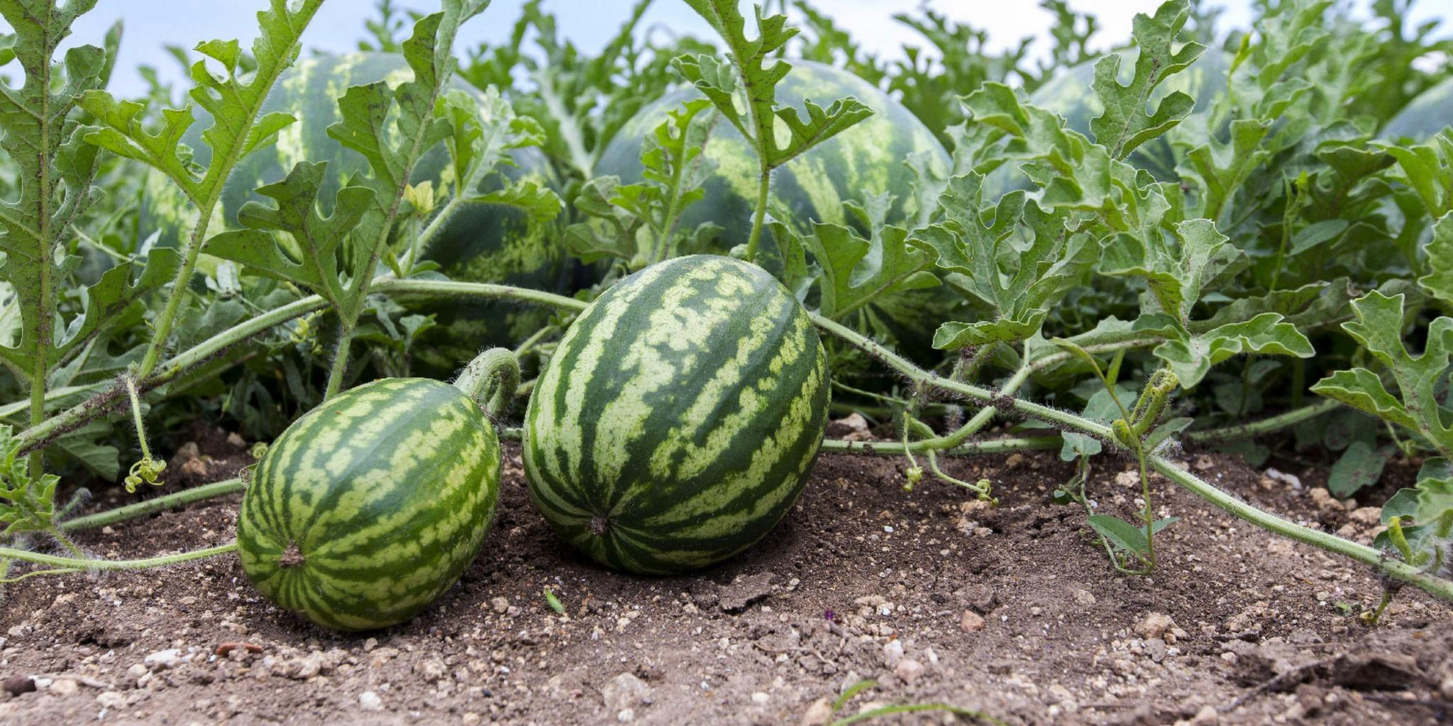 Growth In Gardening Homegrown Watermelons San Marcos Record