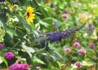Pugster Butterfly Bush: Fragrance and fun collide