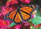 Conundrum on Coleus creates a pollinator pinching perplexity