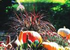 Belgian Mums thrill with fall performance
