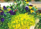 Perennials to add dazzle to your cool season containers