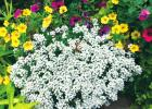 White Knight Alyssum leads with beauty and fragrance