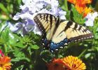 A stormburst of verbena blossoms and butterflies awaits your pollinator garden